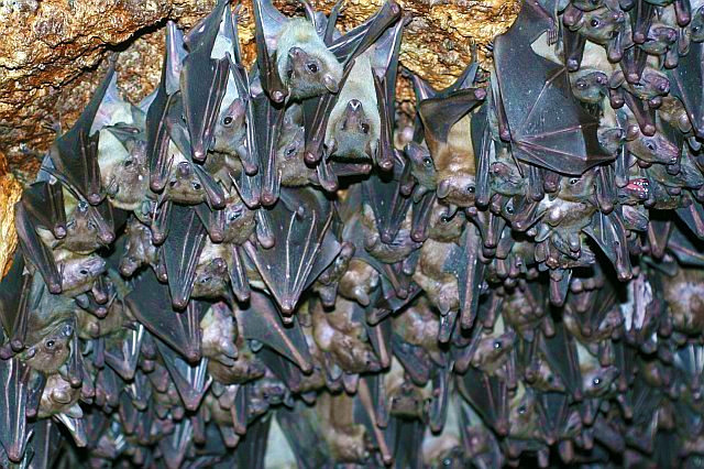 Egyptian Fruit Bat Morning Bray Farm