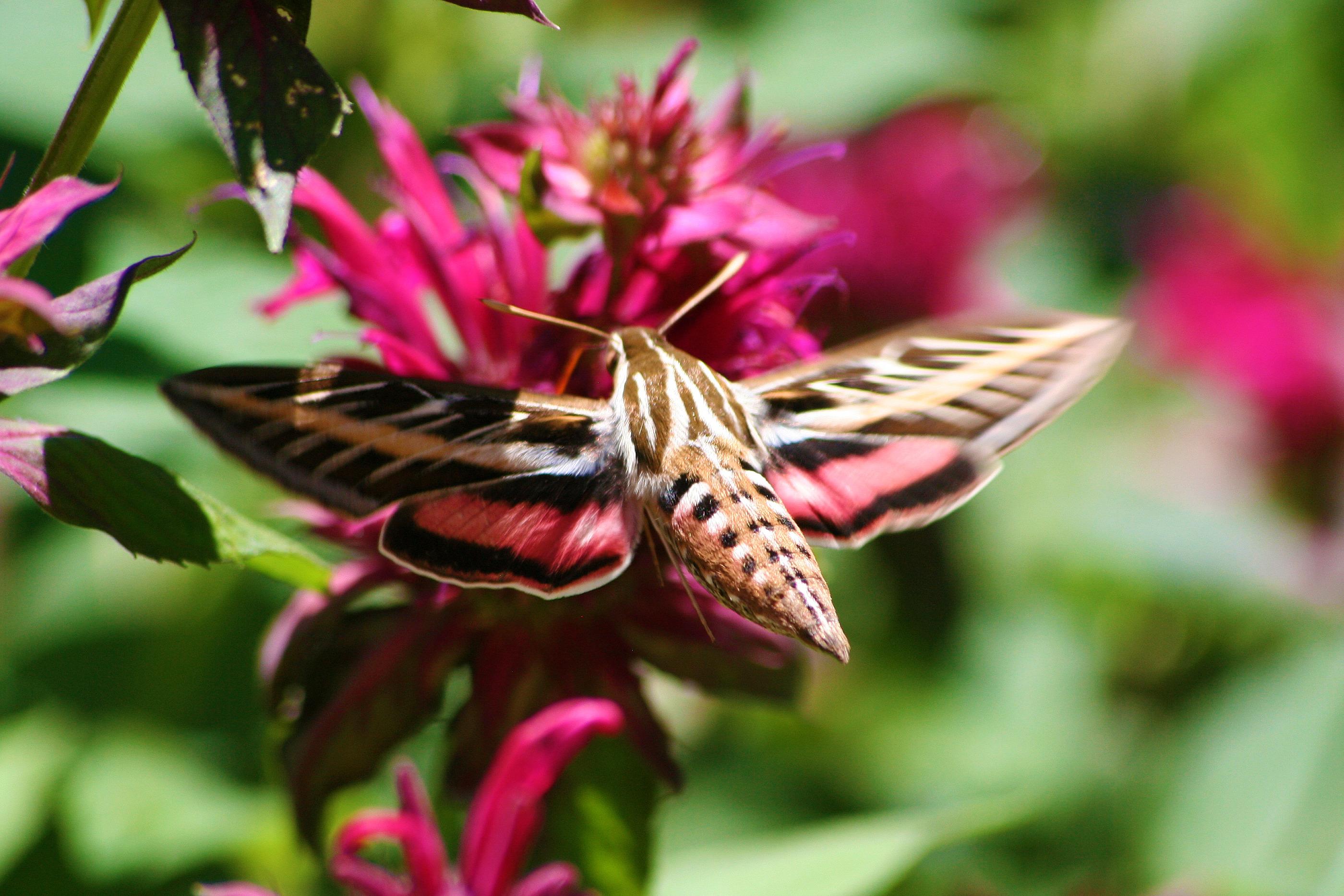 White lined sphinx hummingbird moth morning bray farm see mightylinksfo