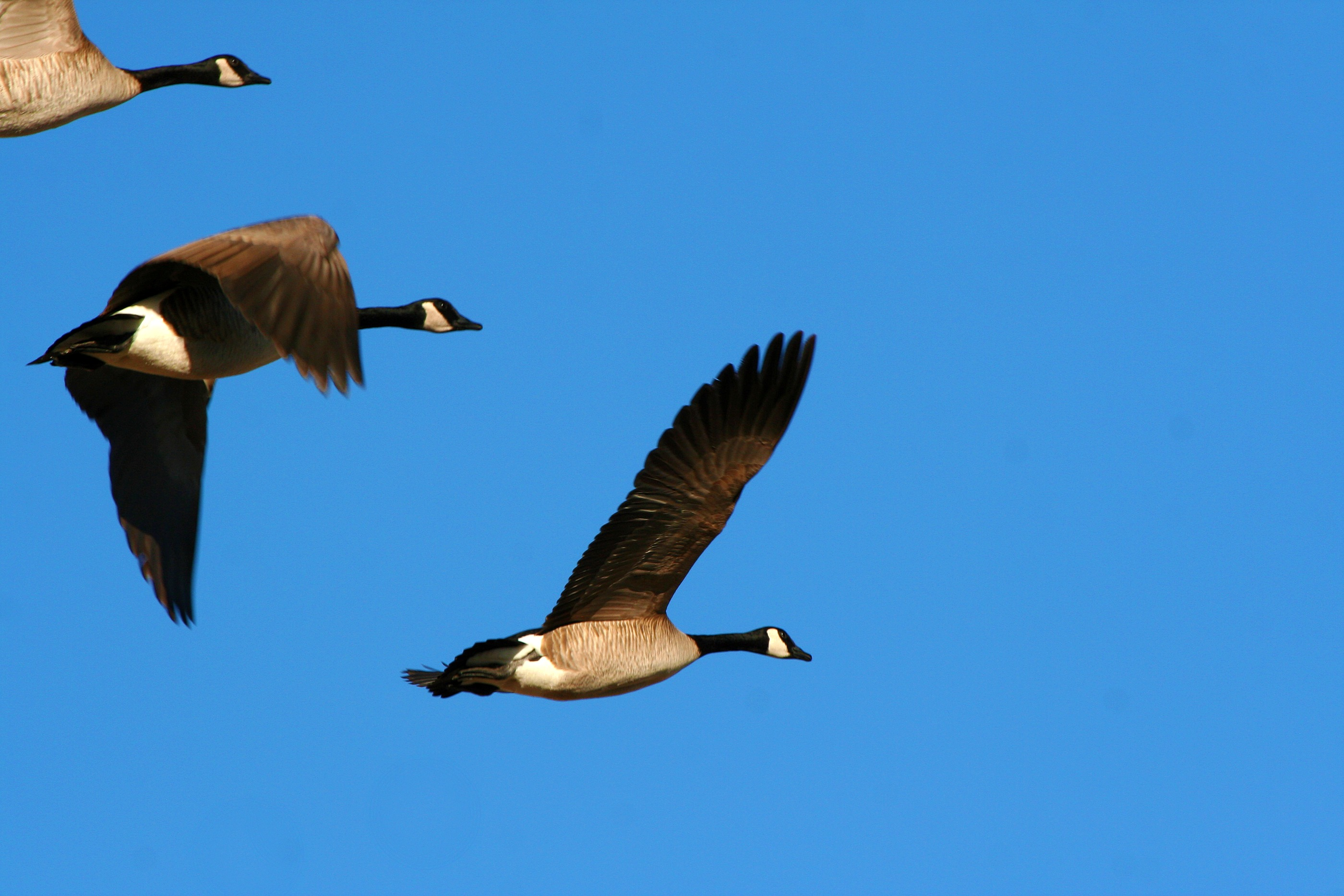 how to call canada geese