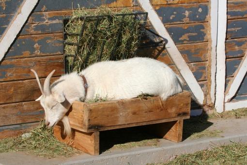 goats | Morning Bray Farm