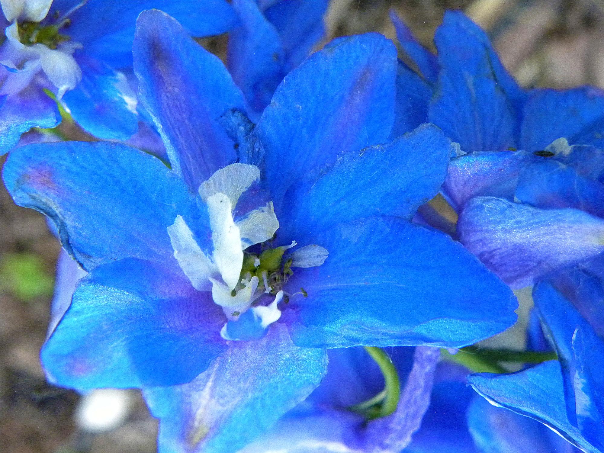 Blue Flower Red Thorns Morning Bray Farm