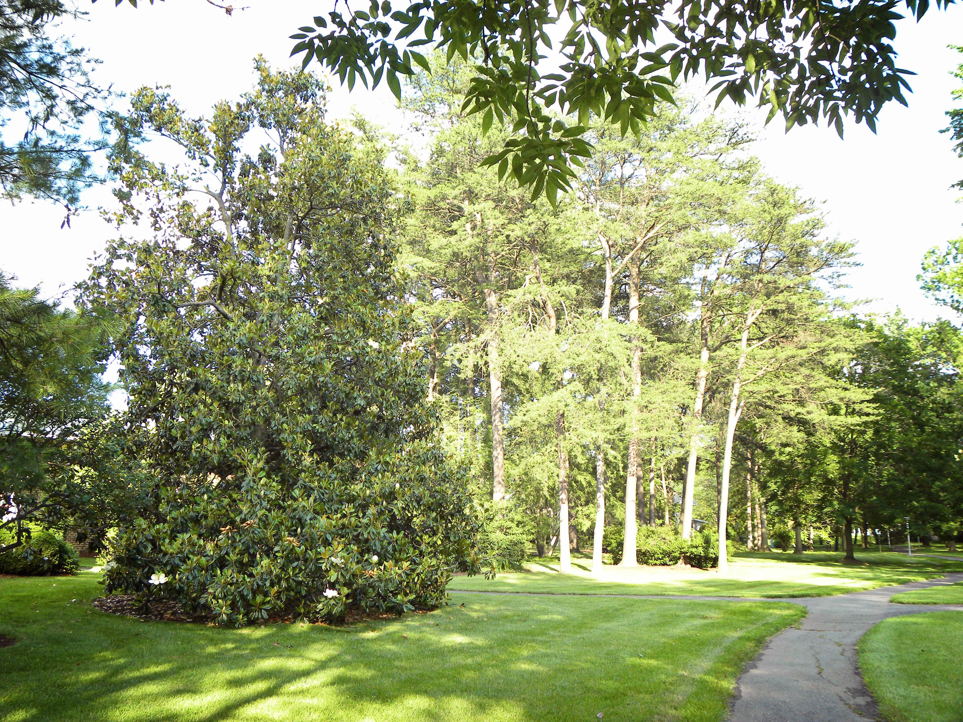 Interesting facts on magnolias morning bray farm for Magnolia tree
