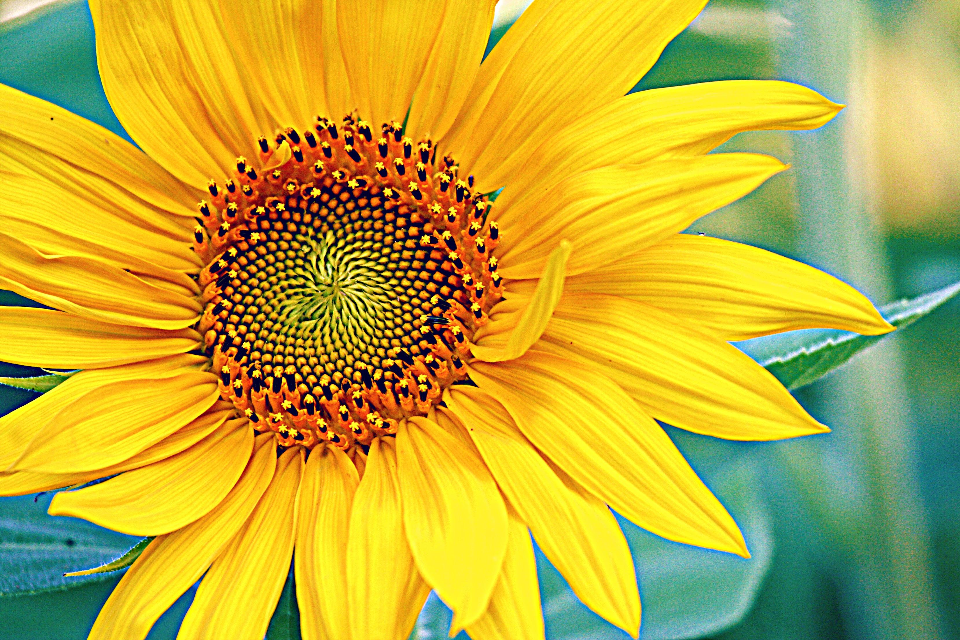 August sunflowers fire