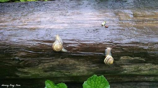 Snail races
