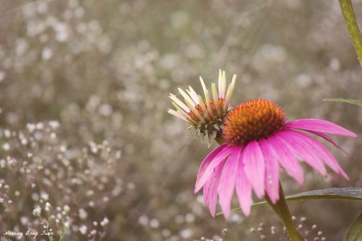 coneflower and baby's breath