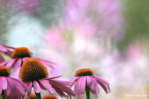 coneflowers and spider flowers